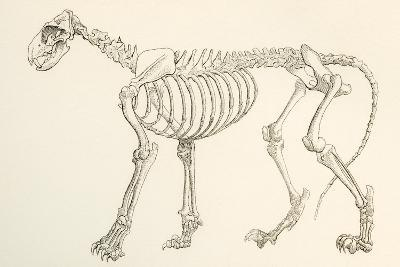 Skeleton of a Lion, Panthera Leo. from the National Encyclopaedia, Published C.1890--Giclee Print
