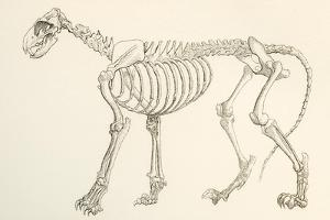 Skeleton of a Lion, Panthera Leo. from the National Encyclopaedia, Published C.1890