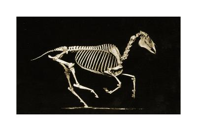 Skeleton of a Running Horse--Photographic Print