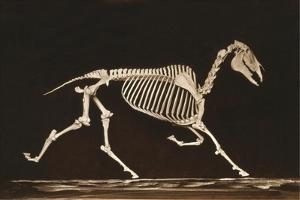 Skeleton of Running Horse