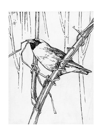 Sketch of a Weaverbird Shows the Bird's Skill with Grass and Twigs-Hashime Murayama-Photographic Print