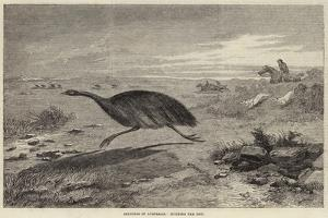 Sketches in Australia, Hunting the Emu