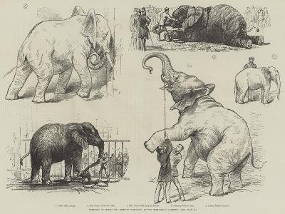 Sketches of Jumbo, the African Elephant, at the Zoological Gardens--Giclee Print