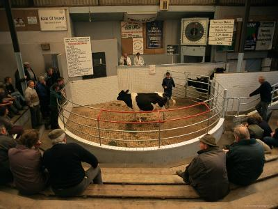 Skibbereen Cattle Auctions, County Cork, Munster, Eire (Republic of Ireland)-Gavin Hellier-Photographic Print