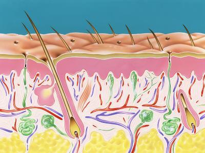 Skin Section-John Bavosi-Photographic Print