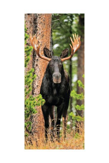 Skinny Chocolate Moose-Gary Crandall-Photographic Print