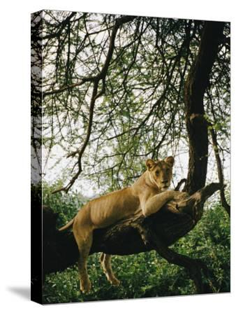A Lion (Panthera Leo) Relaxes on a Tree Branch