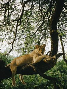 A Lion (Panthera Leo) Relaxes on a Tree Branch by Skip Brown