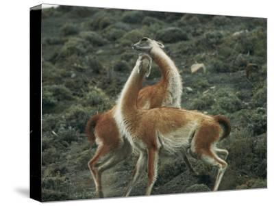 A Pair of Guanacos Strike a Dance-Like Pose
