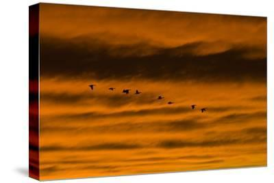 Canadian Geese Fly across a Dramatic Evening Sky