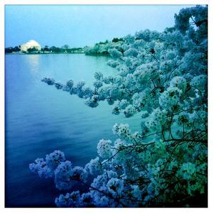 Cherry Blossoms on the Tidal Basin with the Jefferson Memorial by Skip Brown