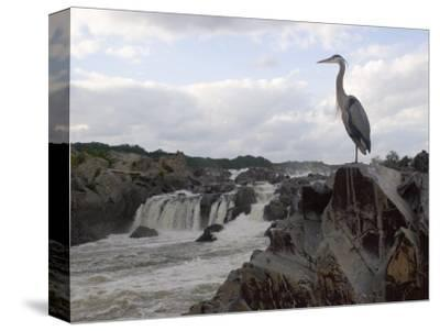 Great Blue Heron on Rock Overlooking Great Falls
