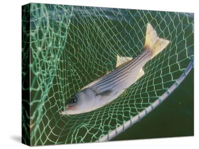 Striped Bass in Net