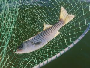 Striped Bass in Net by Skip Brown