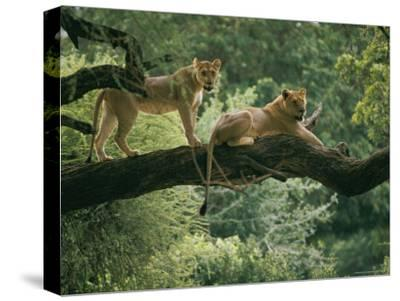 Two African Lions are Resting on a Tree Branch