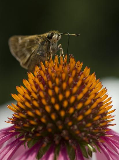 Skipper Butterfly Sipping Nectar from a Purple Coneflower-Paul Sutherland-Photographic Print
