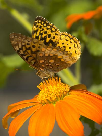 Skipper Butterfly Sipping Nectar from an Orange Flower, USA-Darlyne A^ Murawski-Photographic Print