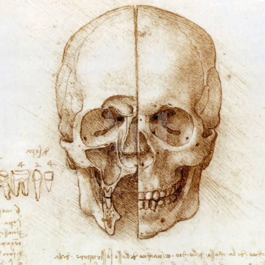 Skull Anatomy By Leonardo Da Vinci Photographic Print By Sheila