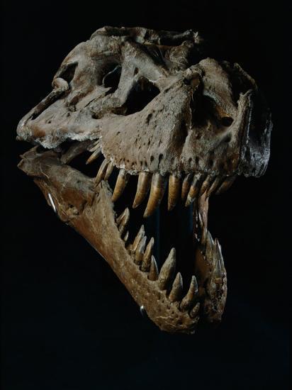 Skull of a Tyrannosaurus Rex-Ira Block-Photographic Print
