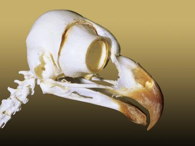Skull of an Adult Great Horned Owl (Bubo Virginianus), Alberta, Canada-Wayne Lynch-Photographic Print