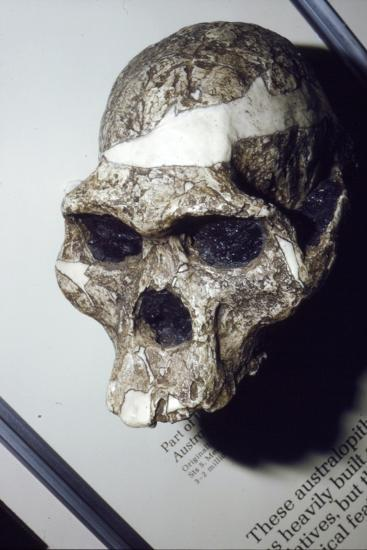 Skull of Australopithecus Africanus from Sterkfontein, South Africa, 3 to 2 million years BC-Unknown-Giclee Print