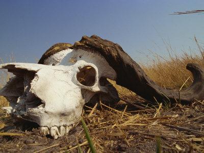 skull of cape buffalo, kruger national park, south africa, africaskull of cape buffalo, kruger national park, south africa, africa photographic print by paul allen art com