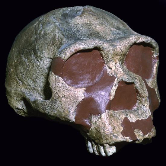 Skull of Homo Erectus-Unknown-Giclee Print