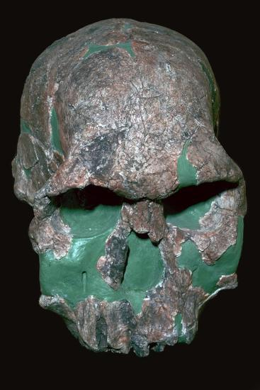 Skull of Homo Habilis. Artist: Unknown-Unknown-Giclee Print