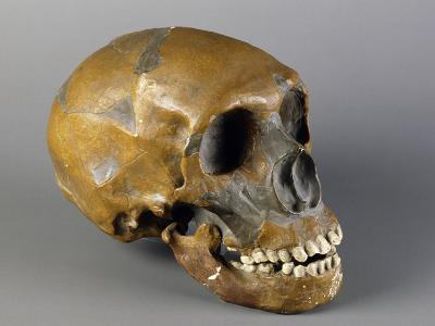 Skull of Homo Sapiens--Giclee Print