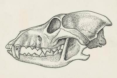 Skull of Wolf (Canis Lupus), Drawing--Giclee Print