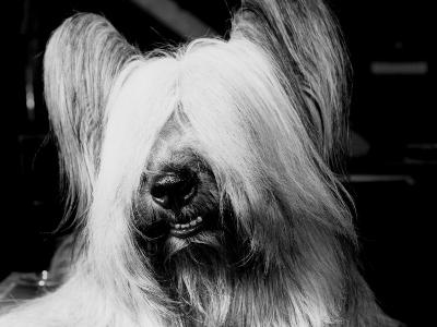 Skye Terrier With Hair Covering Eyes and Bottom Teeth Showing-H^ Armstrong Roberts-Photographic Print