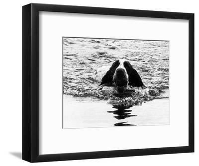 Skye the St. Bernard Dog Swimming