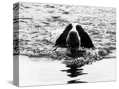 Skye the St. Bernard Dog Swimming