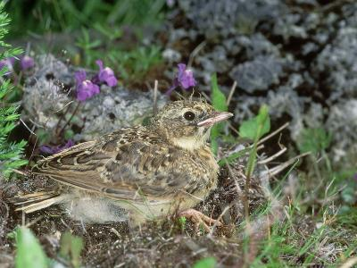 Skylark, Young-Les Stocker-Photographic Print