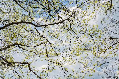 Skyward View of Dogwood Tree Blossoms in Spring, Great Smoky Mountains National Park, Tennessee-Adam Jones-Photographic Print