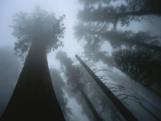 Skyward View of Giant Sequoia Trees in the Fog-Peter Carsten-Photographic Print