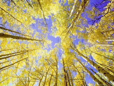 Skyward View, up Through Quaking Aspen Trees in Autumn Gu Nnison National Forest, Colorado-Adam Jones-Photographic Print