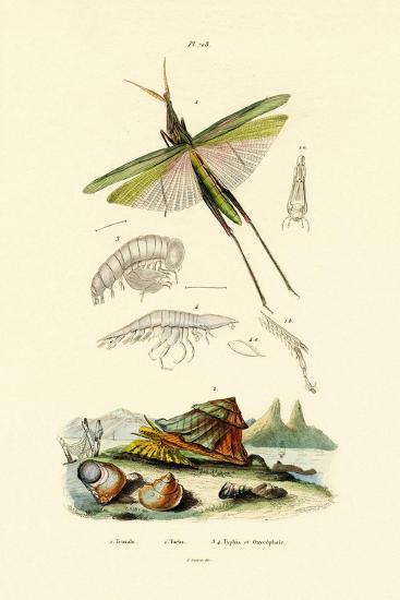 Slant-Faced Grasshopper, 1833-39--Giclee Print