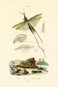 Slant-Faced Grasshopper, 1833-39