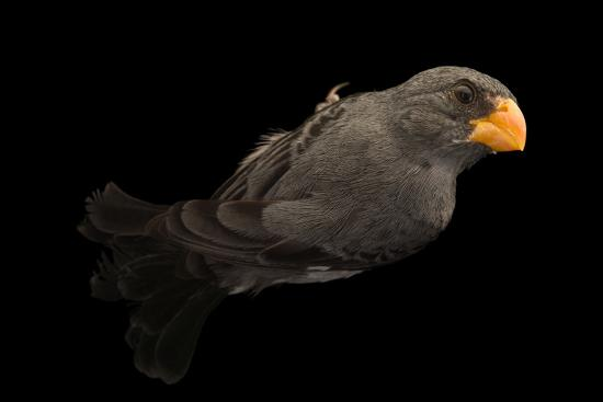 Slate colored seedeater, Sporophila schistacea-Joel Sartore-Photographic Print