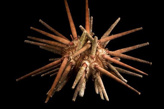 Slate pencil urchin, Eucidaris thouarsii, at Aquarium of the Pacific.-Joel Sartore-Photographic Print