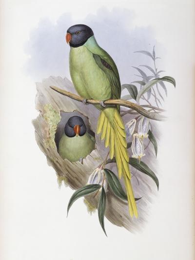 Slaty Headed Parakeet-John Gould-Giclee Print