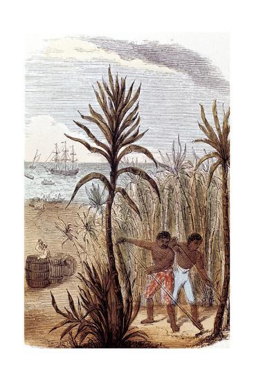 Slaves Cultivating Sugar Cane in the West Indies, 1852--Giclee Print