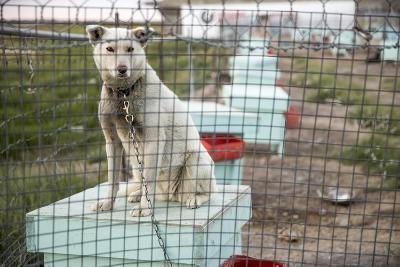Sled Dog, Rankin Inlet, Nunavut, Canada-Paul Souders-Photographic Print