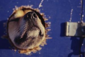 Sled Dog Sticking Head Through Hole