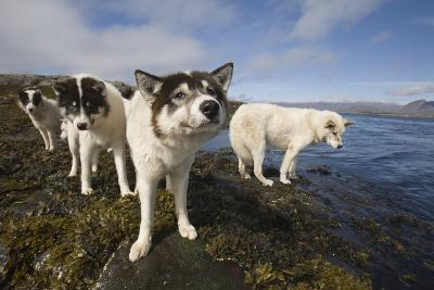 Sled Dogs in Sisimiut--Photographic Print