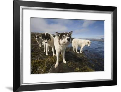 Sled Dogs in Sisimiut--Framed Photographic Print