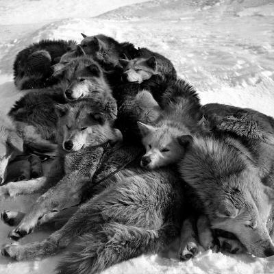 Sled Dogs Sleeping--Photographic Print