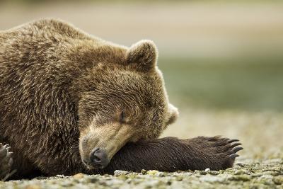 Sleeping Brown Bear, Katmai National Park, Alaska-Paul Souders-Photographic Print