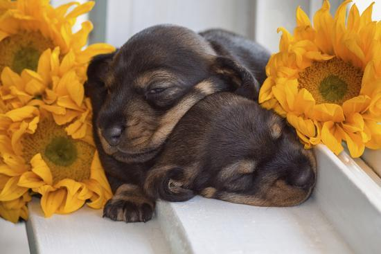 Sleeping Doxen Puppies-Zandria Muench Beraldo-Photographic Print